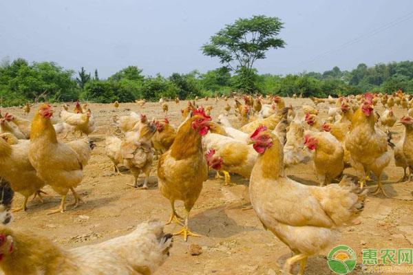 淘汰鸡售卖价格