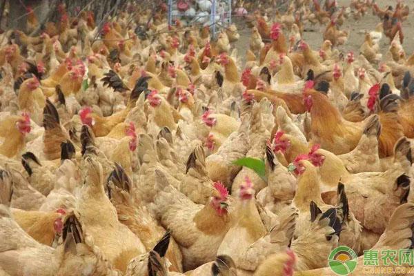 淘汰鸡售卖技巧