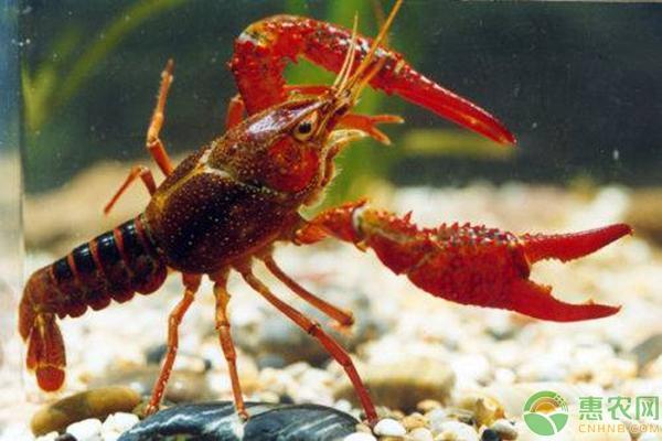 小龙虾越来越火爆,新手养殖都有哪些误区?