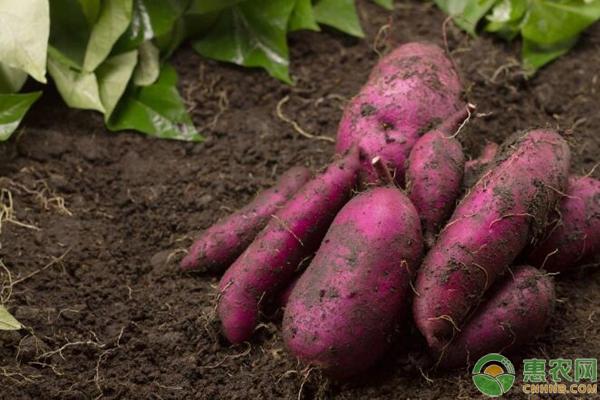 我国常见的5种番薯品种