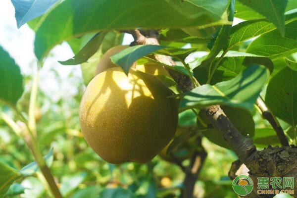 冬季果园有哪些病虫害?冬季病虫害防治措施