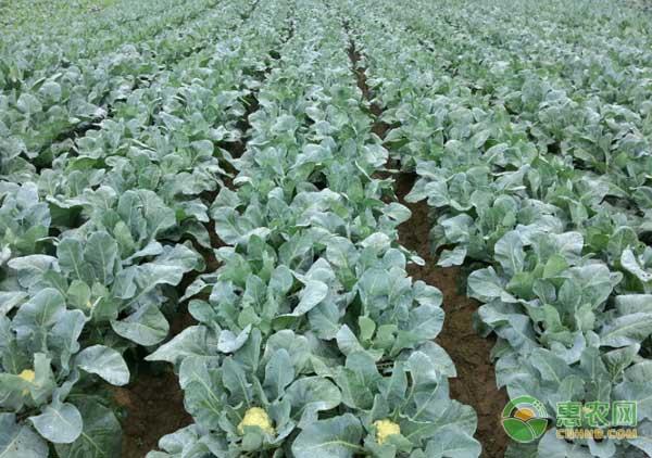 花菜施肥的技术要点及注意事项