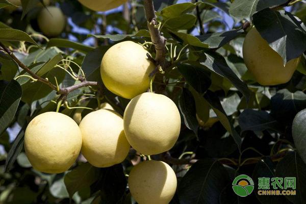 南方梨树都有哪些优质品种?这六大梨子值得推荐!