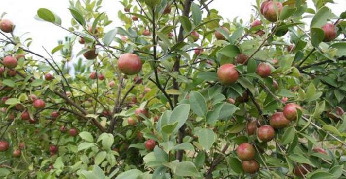 油茶樹有哪些價值?種植的經濟收益高不高?