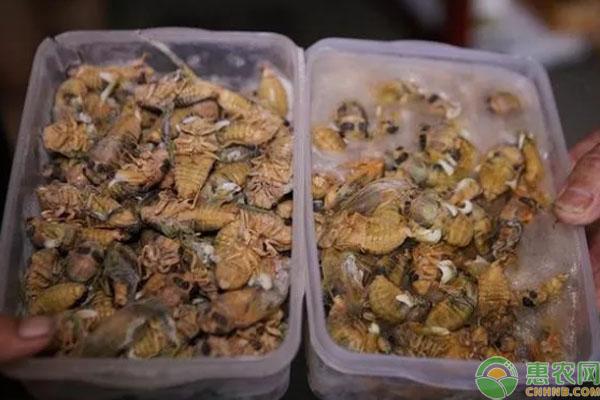 金蝉养殖致富案例