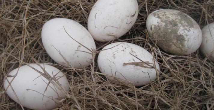 2019年鵝蛋多少錢一枚?有哪些營養價值?如何挑選?