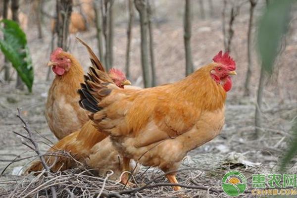 散養土雞的技術要點及注意事項