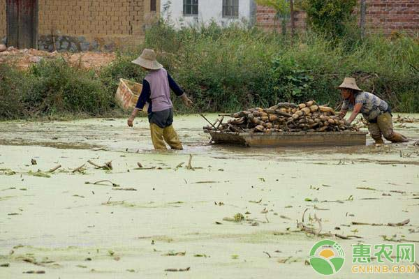 蓮藕的需肥特性、施肥方法及注意事項