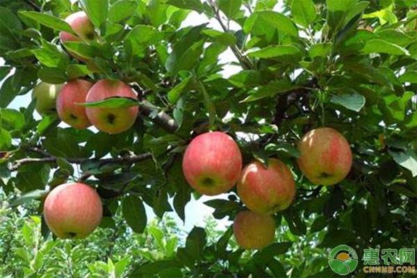 蘋果(晚熟品種)病蟲無公害防治時期及技術措施