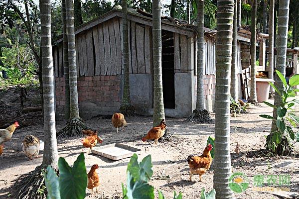 散養土雞和圈養肉雞有區別嗎?如何分辨?