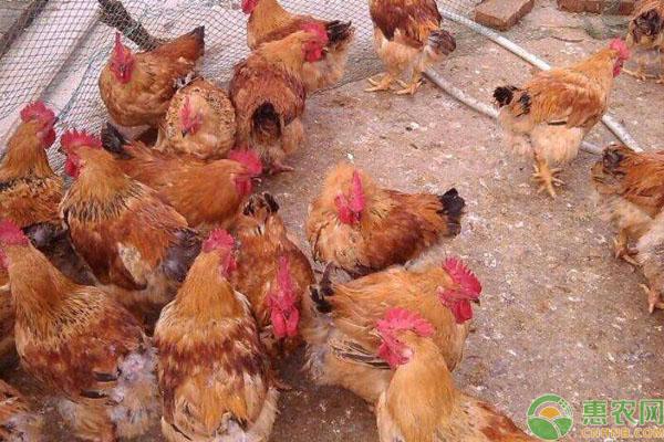 鸡群猝死预防方法