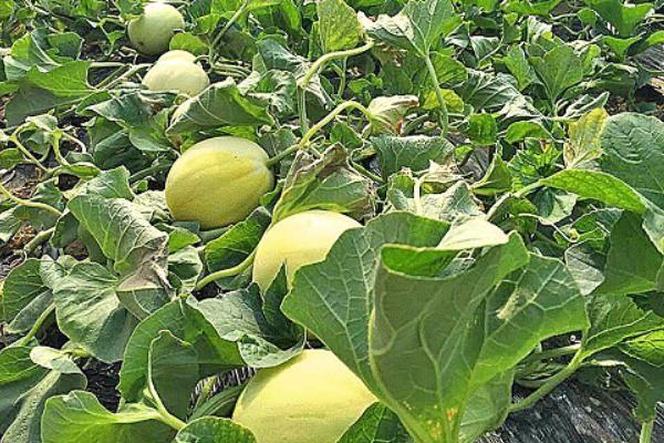2019年想要种植甜瓜,这四大品种值得推荐!