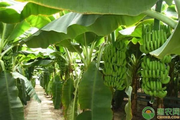 常吃香蕉有哪些好处?香蕉每天最多吃几根?