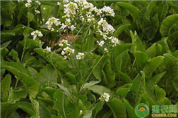 山葵和芥末的区别