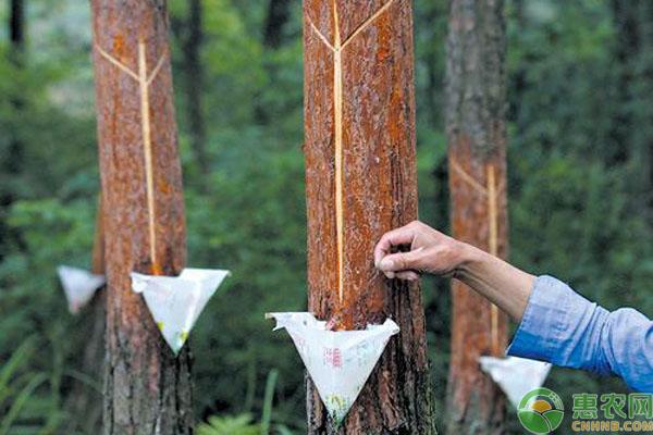 亚博-2019松树油收购多少钱一斤?具体都有哪些用途?