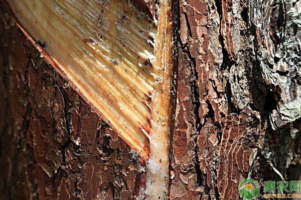 松树油清新方法