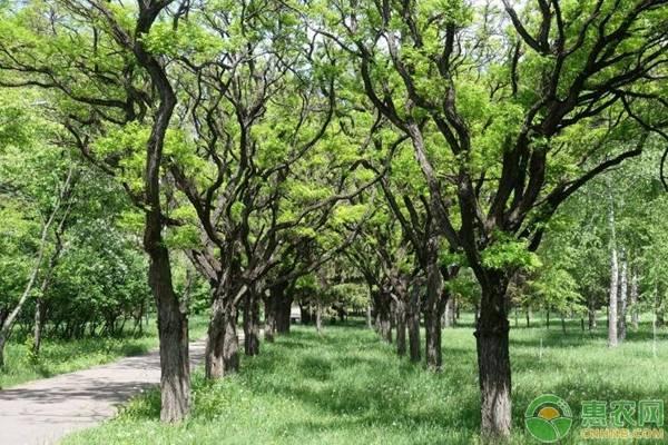 亚博-国槐多少钱一棵?有哪些价值?与刺槐有什么区别?