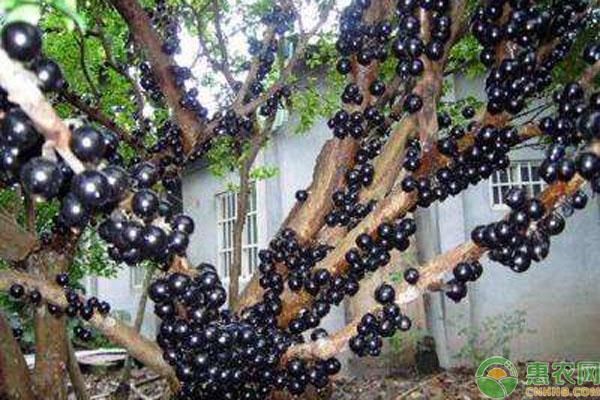 嘉宝果种植要求