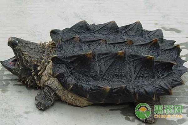 亚博-目前鳄鱼龟价格多少钱一只?如何区分大鳄龟和小鳄龟?