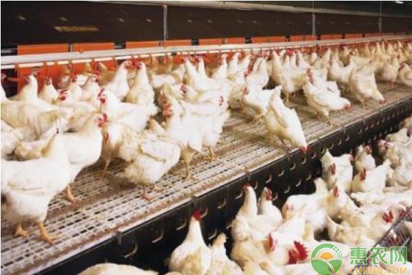养鸡课堂:鸡的几种恶癖及防治