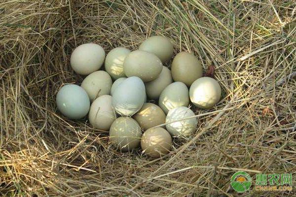 乌鸡蛋价格