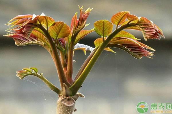 香椿芽的保存方法