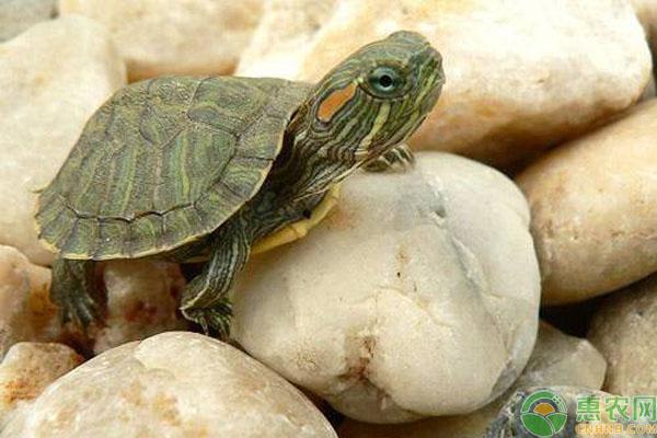 巴西龟价格