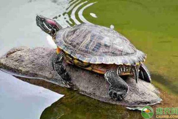 巴西龟饲养方法