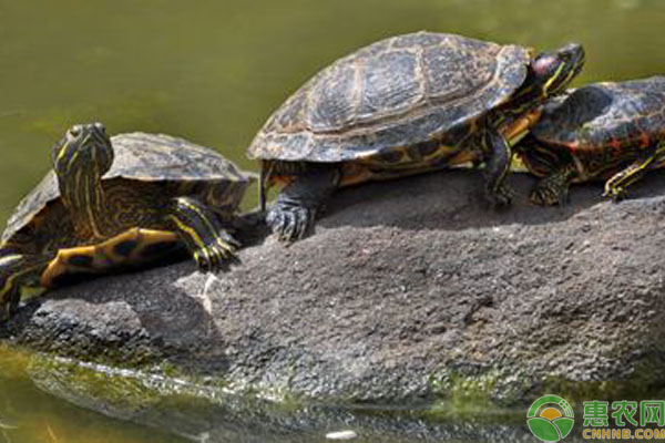 巴西龟饲料介绍