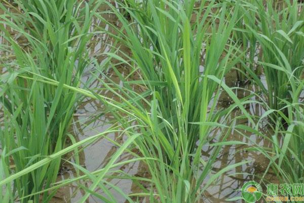 水稻恶苗病防治措施