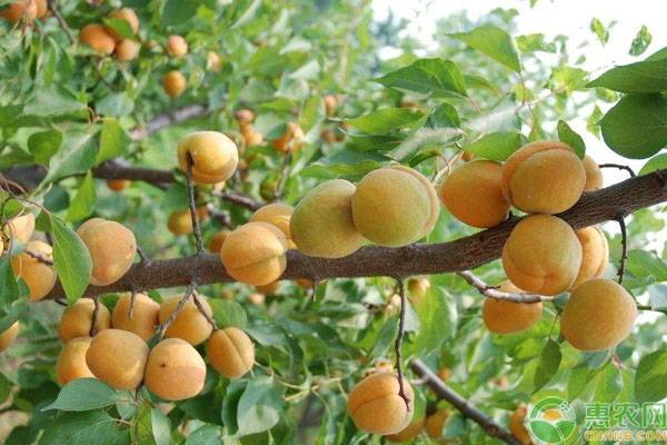 杏树的修剪方法和注意事项