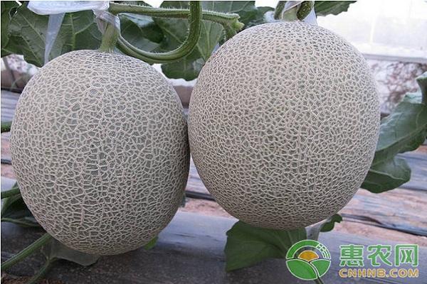 大棚哈密瓜的种植技术及管理要点