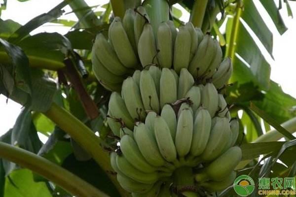 香蕉可以放冰箱保存吗?香蕉催熟的方法有哪些?
