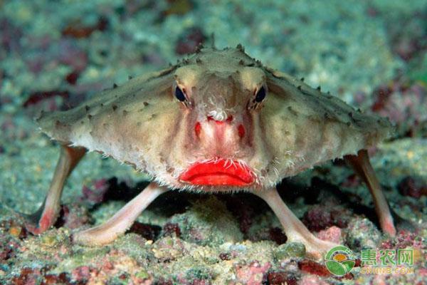 红唇蝙蝠鱼