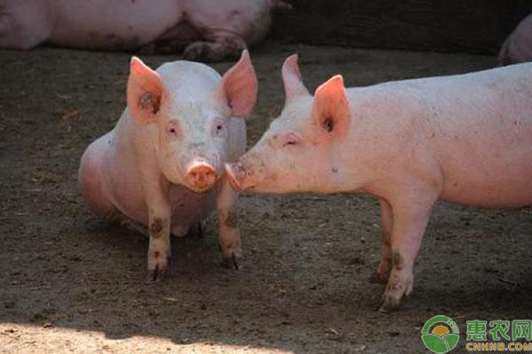剩菜剩饭喂猪