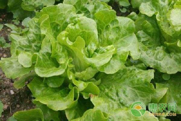 生菜种植技巧