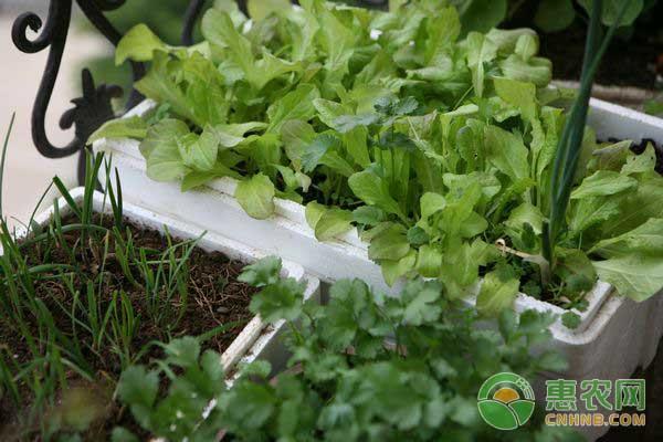 生菜种植前景