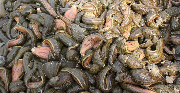 今日水蛭多少钱一斤?养殖前景怎么样?有哪些功效作用?