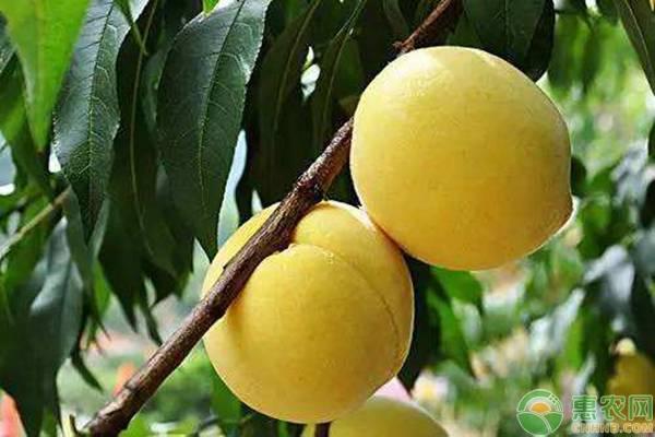 2019黄桃价格是多少钱一斤?黄桃的功效与作用及上市时间