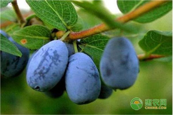 2019年蓝靛果一斤要多少钱?有哪些食用与药用价值?