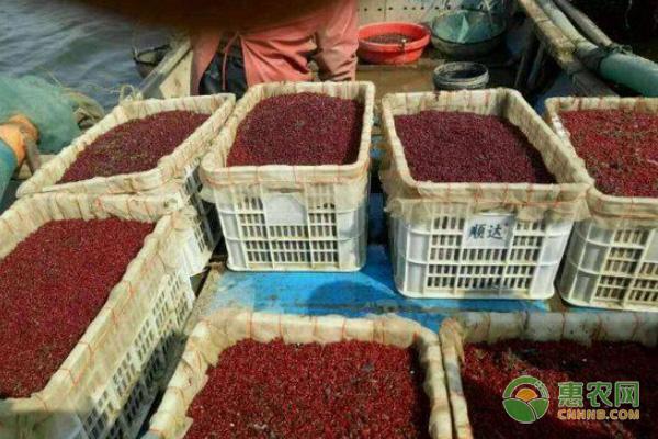 农户多年养殖红虫致富,亩产利润上万,他是怎么做到的?