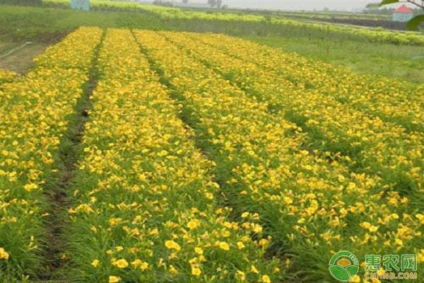 黄花菜价格多少钱一斤?2019年黄花菜的种植前景及利润分析