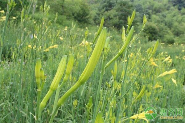 黄花菜种植前景