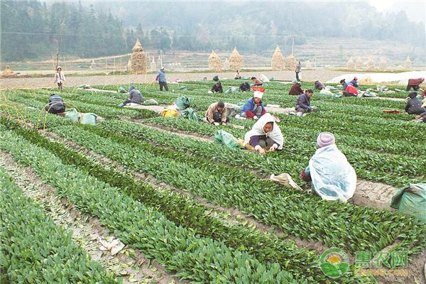 茶苗移栽的方法,怎样提高茶苗移栽成活率!