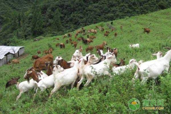 养肉羊能有多少利润?养羊最担心什么?