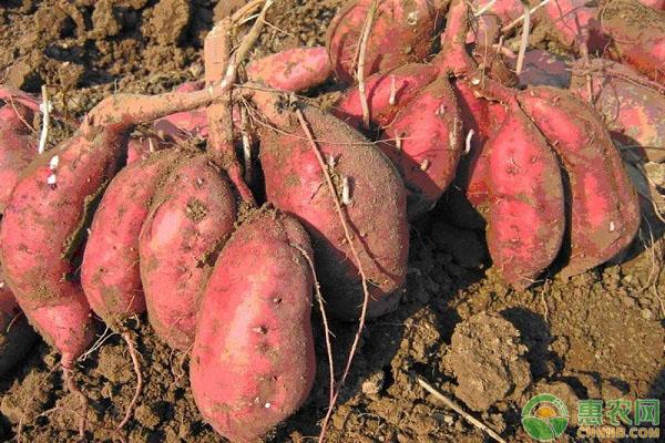 红薯价格多少钱一斤?2019年种植红薯赚钱吗?