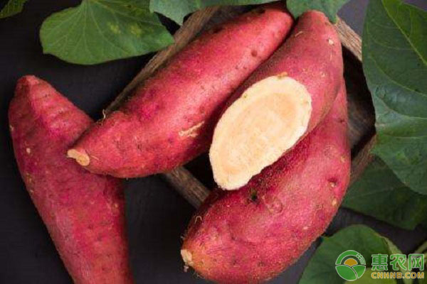 红薯种植前景
