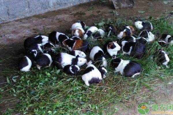荷兰猪养殖致富