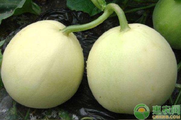 高产甜瓜对生长环境的要求