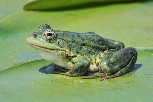 青蛙的养殖效益怎样?青蛙的养殖技术!